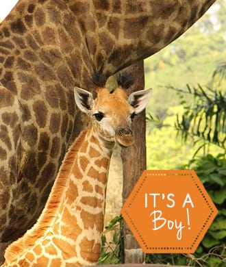 Meet SG50's tallest baby at Singapore Zoo!