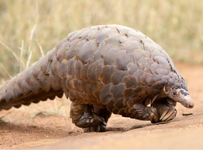 We're going on a pangolin hunt; we're not scared (although it is a bit alien-looking!). Photo credit David Brossard
