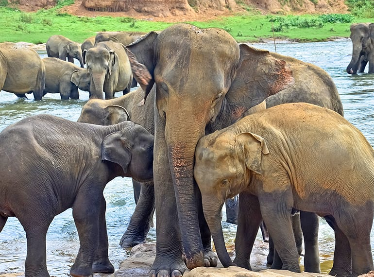 Sound the trumpets this Xmas with a visit to the amazing Pinnawala Elephant Orphanage