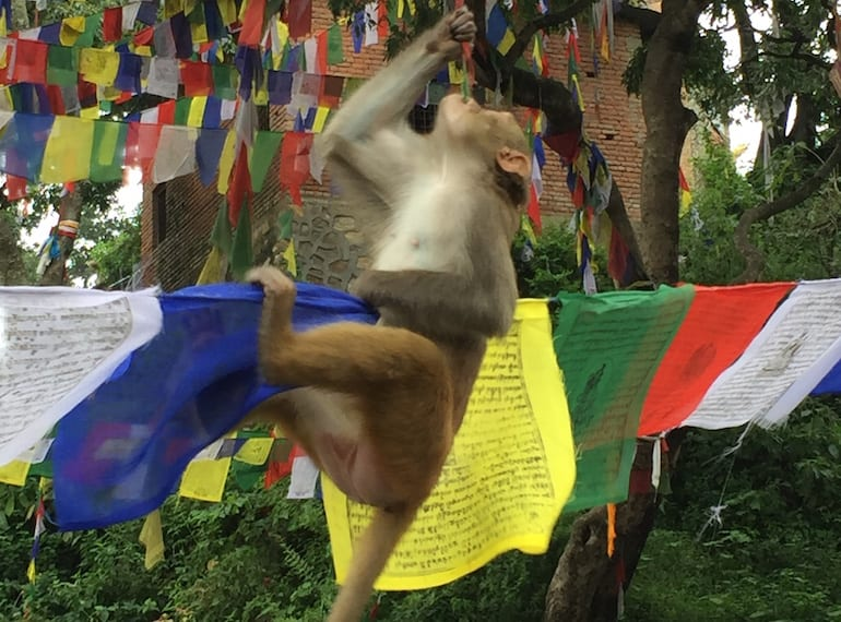 Monkeying around with the prayer flags is a common sight in Nepal! Photography by Selina Altomonte