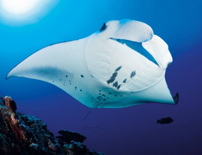 Manta Rays Month at S.E.A. Aquarium