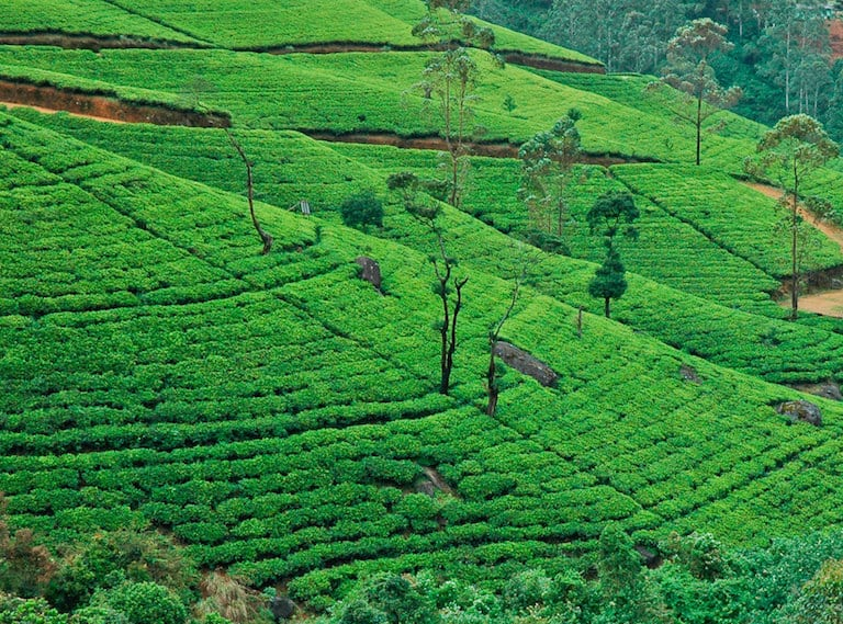Sri-Lanka-with-kids-tea-country