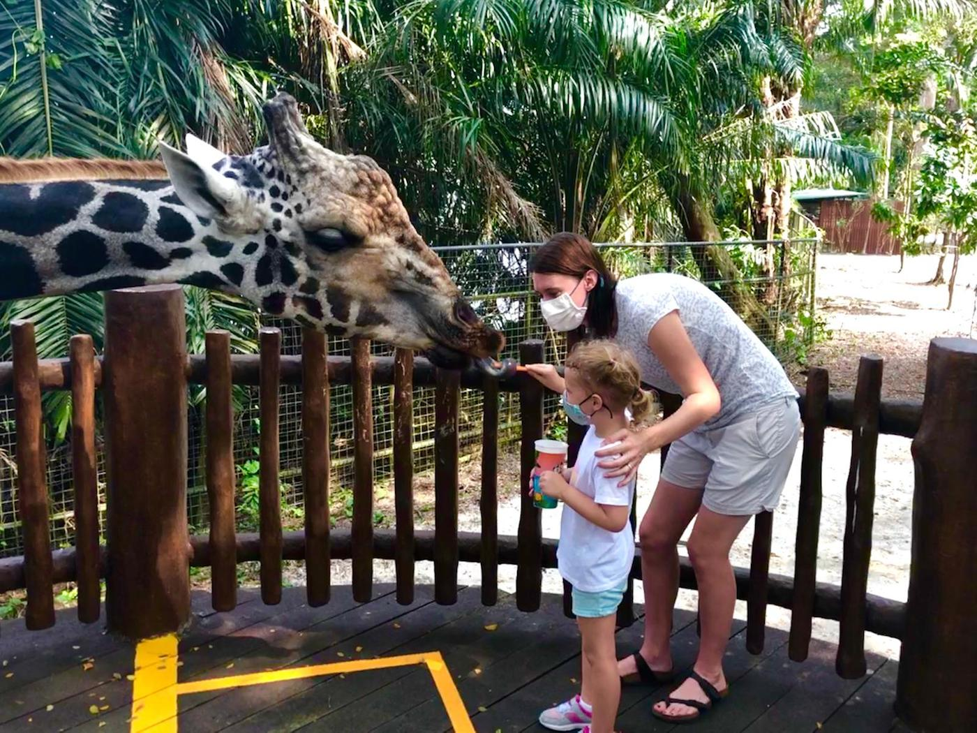 visiting Singapore zoo with kids giraffe feeding