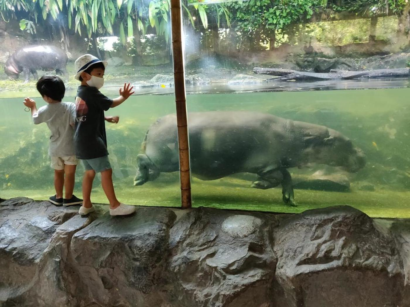 visiting Singapore zoo with kids hippos