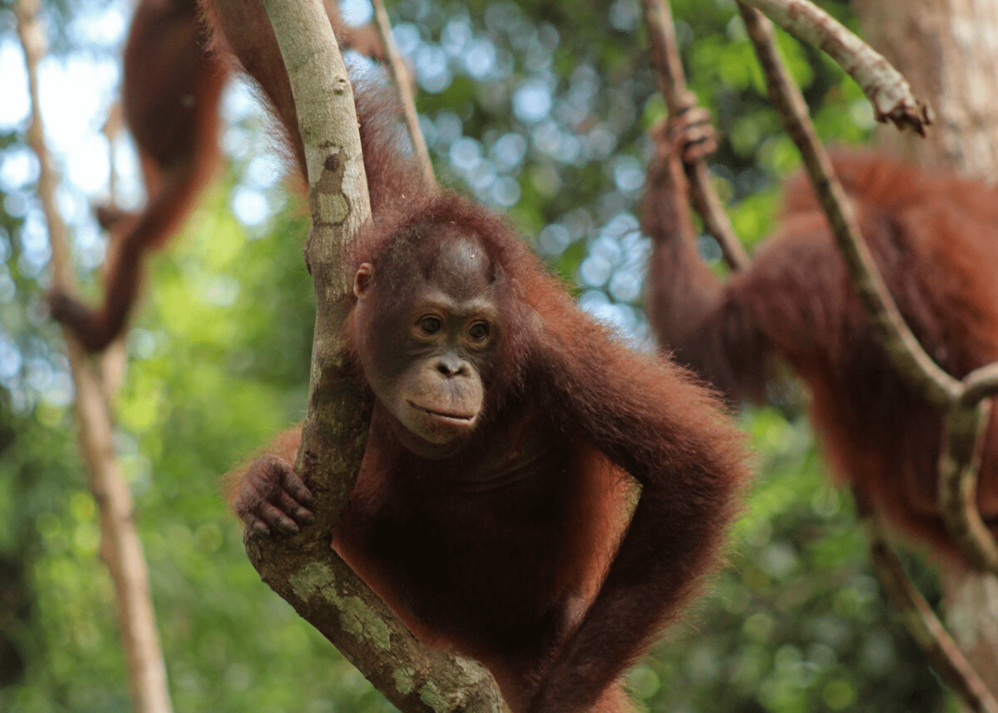 orangutan-foundation-international-1
