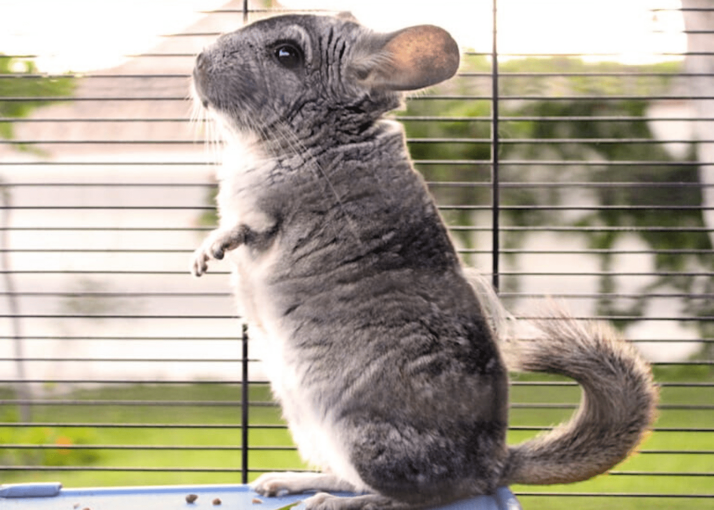 Small pets for kids in Singapore: Chinchillas
