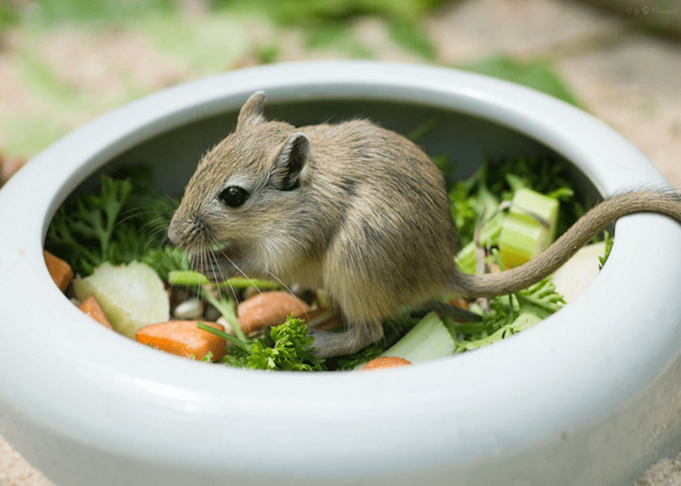 Small pets for kids in Singapore: Gerbils
