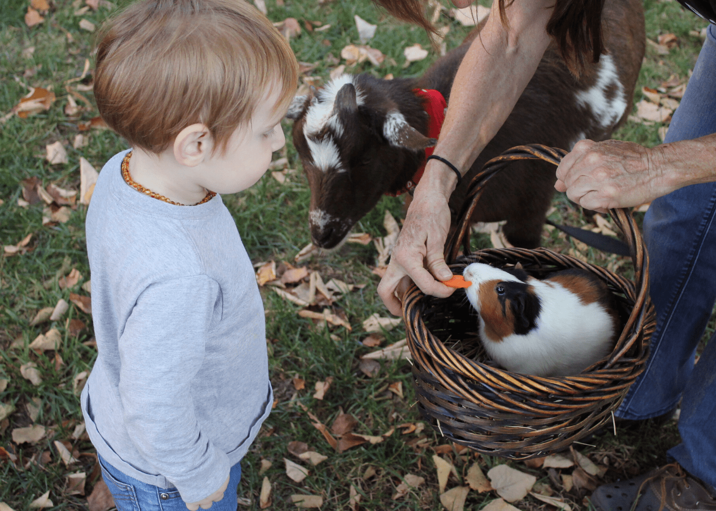 Small pets for kids in Singapore: Guinea Pigs