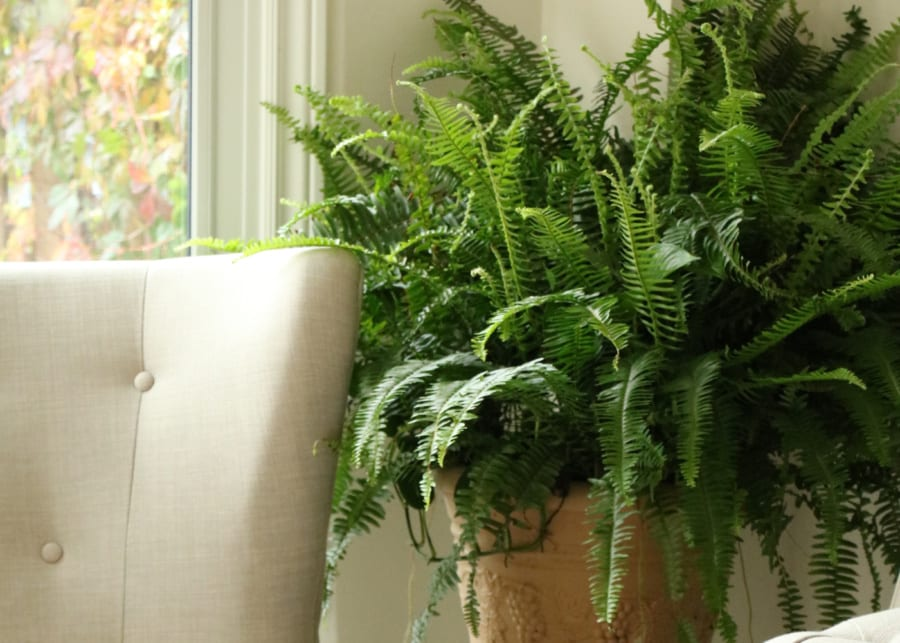 fern house plant