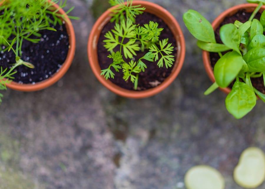 indoor plants growing herbs