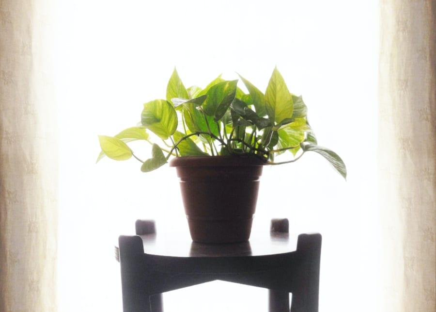 houseplants money plant backlit