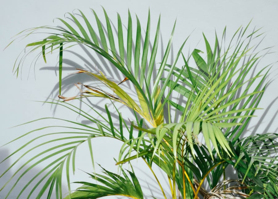 indoor plants palms