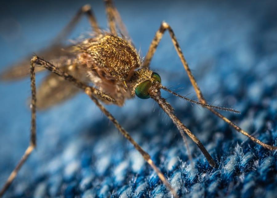 dengue singapore mosquito