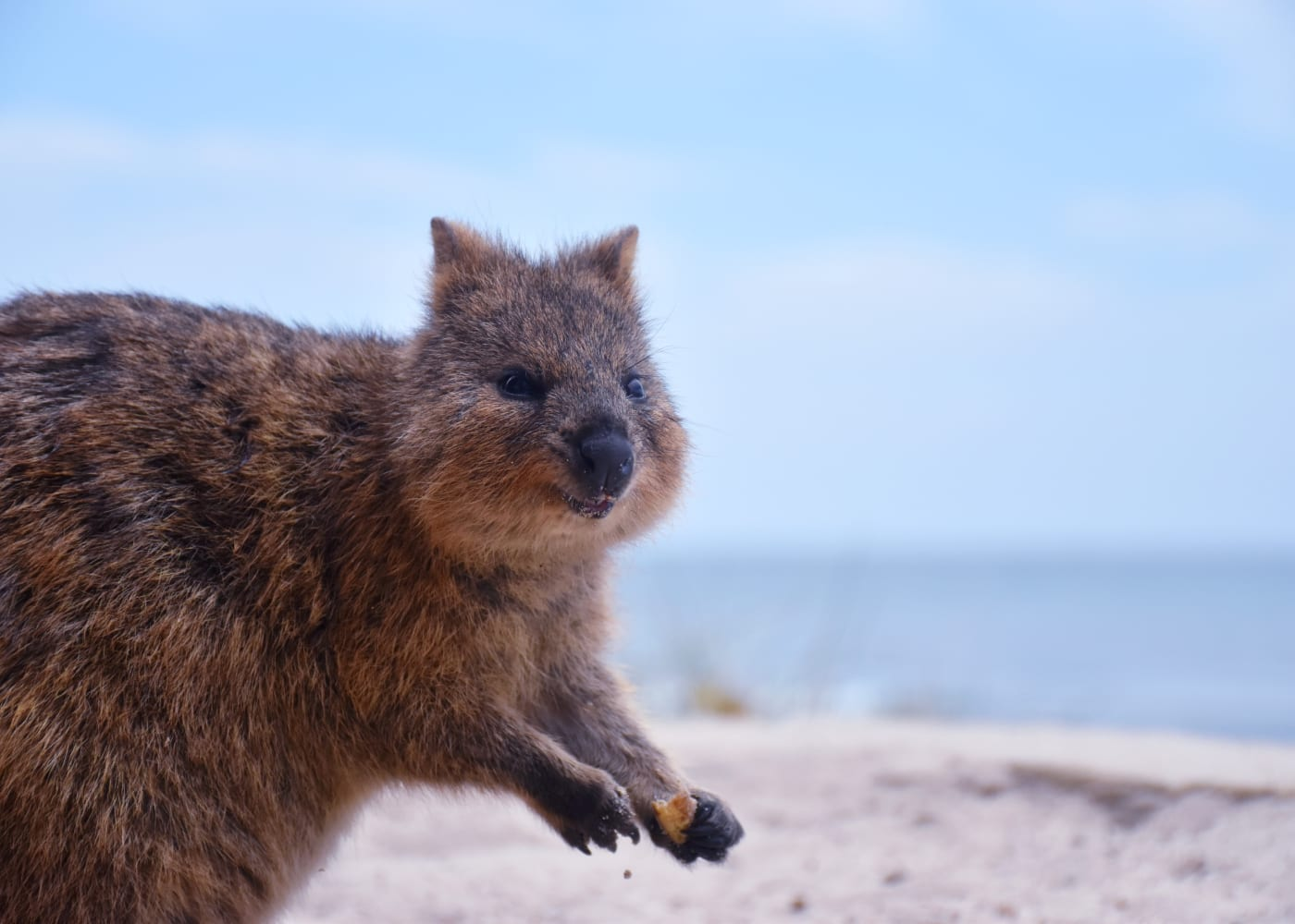 perth with kids quokka