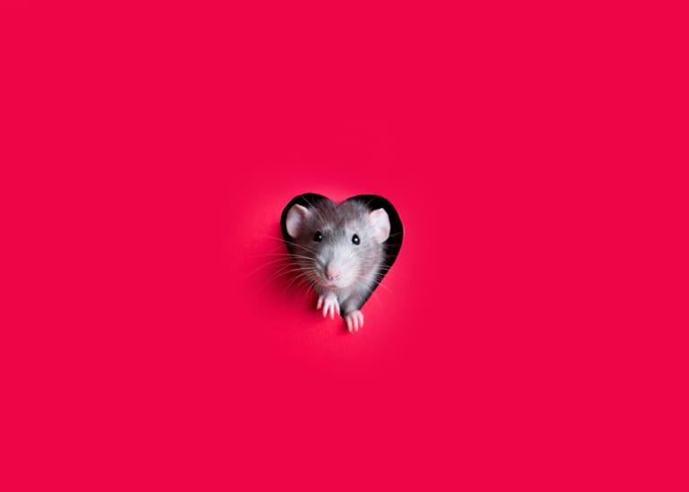 fun facts rats