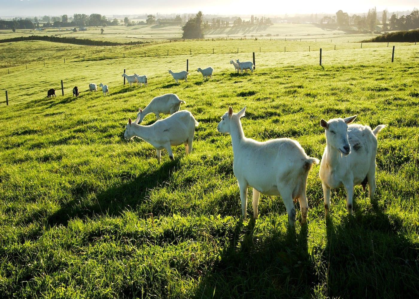 baby formula karihome goats in new zealand